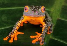 Amazon Leaf Frog (Agalychnis craspedopus), Peru