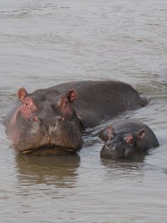 Mommy and baby hippo