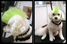 Dog Hair Dye Punk? This is why I need a spunky little poodle.
