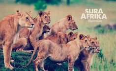 Due to our privileged location, it is not rare to see different prides of lions near our #PumzikaSafariCamp. Our resident staff know many of the families, and they always keep our drivers informed. It is not only important what you see, but also what you hear.  #SuraAfrika luxury travels everywhere. #luxurysafaricamps #luxurytravels #Safari #Africa #love www.suraafrikasafaricamps.com