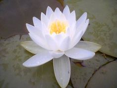Learn about the lotus flower meaning as well as see pictures of various types of lotus flowers. Blue, white, and Egyptian lotus flower meanings and pictures at Lotus Flower Symbolism, Lotus Flower Meaning, Church Wedding Flowers, Cheap Wedding Flowers, Wedding Ceremony, Wedding Decor, Buddhism Symbols, Lotus Flower Pictures, Christophe André