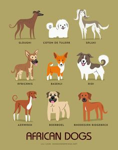 FROM AFRICA: Sloughi (North Africa), Coton De Tulear (Madagascar), Saluki (Egypt), Africanis (South Africa), Basenji (Congo), Aidi (Morocco)...