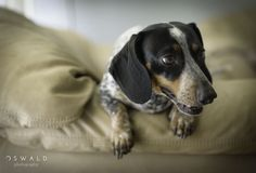 A close-up portrait of a dachshund breed dog, lounging on a couch with a low depth of field.