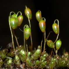 modern relative of Pachytheca (moss with weird tall pods basically)