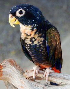 Pappagallo Alibronzate (Pionus chalcopterus)