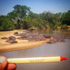 One our last wildlife drive we finally found a heard of over 150 Hippos sunning themselves. #figpen #Serengeti    Bart Hansen