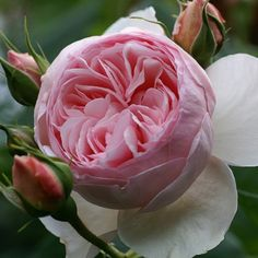 Heritage - David Austin Roses