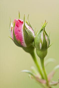 Rosebud by Jonas Gerhardt Rare Flowers, Exotic Flowers, Flowers Nature, Amazing Flowers, Beautiful Roses, Rose Bud Tattoo, Good Morning Rose Images, Flower Phone Wallpaper, Rose Of Sharon