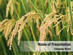Rice Plant PowerPoint Templates - Rice Plant PowerPoint Backgrounds, Templates for PowerPoint, Presentation Templates, PowerPoint Themes Free Powerpoint Presentations, Powerpoint Themes, Powerpoint Presentation Templates, Rice Congee, Rice Plant, Presentation Backgrounds, Social Icons, Planting Seeds, Typography Design