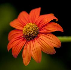 Tithonia rotundifolia 'The Torch' My ALL TIME FAV.a must plant for sunny flower garden. Flowers all summer Yellow Flowers, Wild Flowers, Mexican Sunflower, Flower Words, Alpine Garden, Zinnias, Dahlias, Home Garden Design, Replant