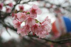 Nago Sakura-Festival / Nago, Okinawa
