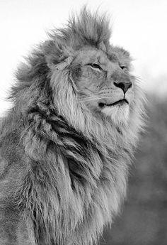 Leão no topo da cadeia alimentar e o 1º do felinos em minha vida amo muito Leões
