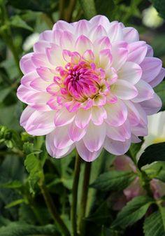 Old House Gardens Heirloom Bulbs - Nepos Dahlia (3-4')