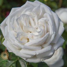 Blanc De Blanc Garden Roses | Wholesale Flowers & DIY Wedding Flowers Cream Roses, Blush Roses, White Roses, White Flowers, Order Flowers, Cut Flowers, Colorful Flowers, Jeanne Moreau, Costume Blanc