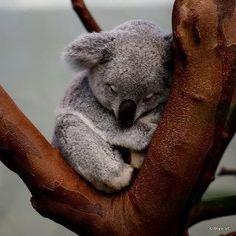 Soft koala, warm koala little ball of fur. Happy koala sleepy koala insert whatever sound they make here times three. Cute Baby Animals, Animals And Pets, Funny Animals, Wild Animals, Small Animals, Animals Images, Animal Pictures, Koala Baby, Baby Otters