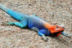 Galapagos Lizard, I can't believe this colors! ecuador, lava, colors, galapago lizard, national parks, flats, galapagos islands, lizards, galapago island