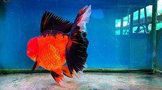 Types Of Gold, Goldfish, Marine Life, Fish Tank, Pond, Aqua, Creatures, Fancy, Brown
