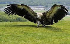 whoah landing vulture, this is a big one!