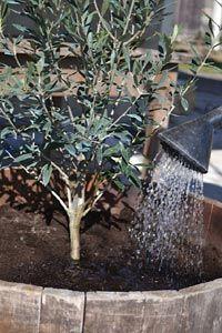 Arrosage de l'olivier