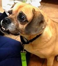 """ADOPTABLE DOGS IN PITTSBURGH, PA. http://www.animalrescue.org/animal/dog/ Pictured: """"DUTCHIE"""" (sweetheart)- 6 yrs old."""