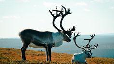 A reindeer encounter | VisitFinland.com