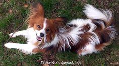 Elevage De Majolian - eleveur de chiens Epagneul nain Continental (Papillon)