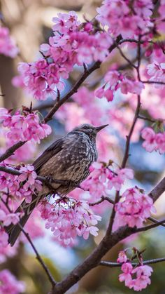 "isawatree: ""Japanese cherry blossoms by druigao "" World Birds, Animals Of The World, Blooming Trees, Beautiful Bugs, All Gods Creatures, Blossom Flower, Bird Watching, Nature Pictures, Natural World"