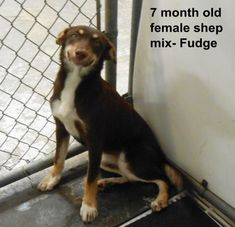 ***SUPER URGENT!!!*** - PLEASE SAVE ME!! - EU DATE: 7/16/2014 -- fudge  Breed: Shepherd (mix breed) Age: Young adult Gender: Female  The shelter is FULL, Please don't leave him there. . Call Silvia and Debbie now,,,,,Silvia is 910-876-0539 and Debbie is 339-832-0806. If Silvia's mailbox is full you can Text her. Transportation is generally available up and down the East Coast from NC, VA, MD, NJ, PA, NY and the North East.  Size: Medium,  hasShots,  -
