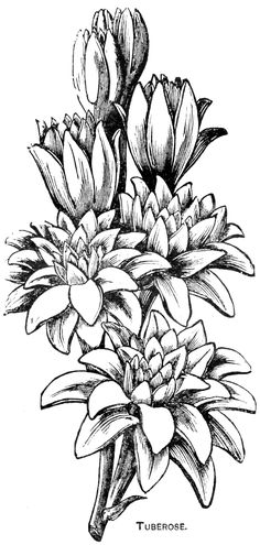 Digital Two for Tuesday: Lilly and Tuberose