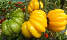Rare-Yellow-Ruffled-Tomato-FLORENTINE-BEAUTY-5-10-or-15-Heirloom-Organic-Seeds