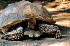 želva ostruhatá-geochelone sulcata