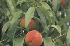 Peaches are categorized according to the time of year they ripen.