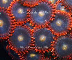 156 Best Zoanthids Images On Pinterest Reef Tanks Saltwater
