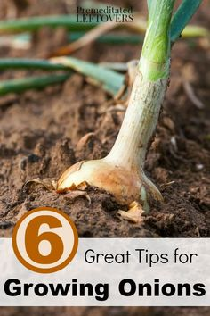 6 Great Tips for Growing Onions in your Garden - Have you ever considered growing your own crop of onions? These helpful gardening tips will get you started!