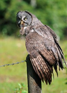 Canadian Great Gray Owl...They are Manitoba's Provincial bird as well.