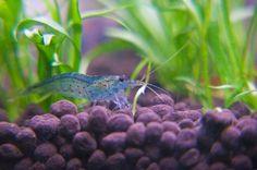 Amano shrimp that is blue?