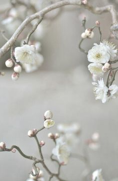 Cherry Blossoms ✿⊱╮
