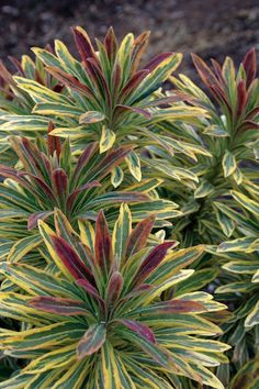 PMA Euphorbia 'Ascot Rainbow'
