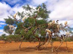 Tree Goats #amazing #argan #discover #explore #goat #goats #instagram #instadaily #instagood #journey #africa #morocco #essaouira #photography #photogram #photo #travel #travelgram #travelphotography #tree #semidesert #worldtour