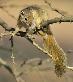 Tree squirrel, Sericea, South Africa