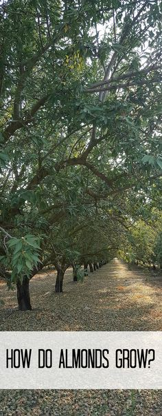How do almonds grow?California Almond Farm Tour and 15 Delicious Almond Recipes Ad: