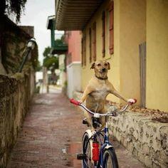 """bicijangueo:  Bici Jangueo Perruno!!! #bicijangueo #bicijangueopr #bici #igerspr #puertorico (at Bici Jangueo - www.bicijangueopr.com)  """
