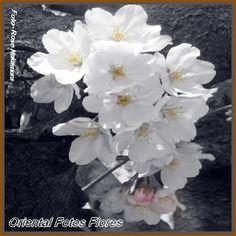 sakura em flor
