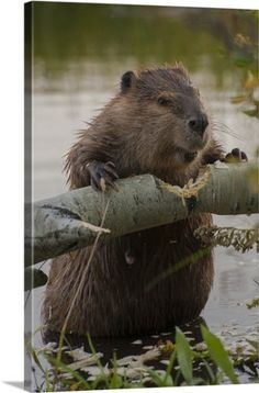 Judith Zimmerman Solid-Faced Canvas Print Wall Art Print entitled Wyoming, North American Beaver gnawing through an aspen on a pond shore - Judith Zimmerman Premium Thick-Wrap Canvas Wall Art Print entitled Wyoming, North American Beaver g - Nature Animals, Animals And Pets, Baby Animals, Funny Animals, Cute Animals, Wild Animals, Biber Tier, Castor Animal, Beautiful Creatures