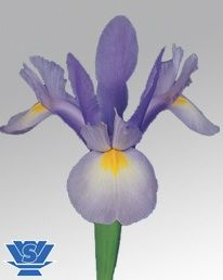 Hildegarde ® (IRIS) Light Blue 60-70cm
