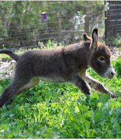 Baby burro - #burro #donkey #animal #farm #animals #burros #donkeys ≈√