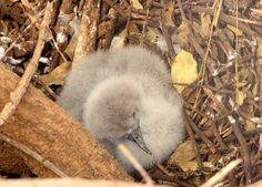 # Wedge-tailed Shearwater, aug 24, 2005 chic in nest, Kilauea Poin tLighthouse, Kauai, HI. Kaua'i. (photo TRD)