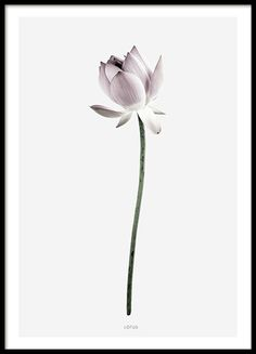 Beautiful botanical poster with a photograph of a lotus flower. The poster has grey background and a white border. Looks amazing when combined with Magnolia - our other botanical print in the same series, or with one of our text posters. www.desenio.co.uk