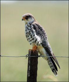 Amur Falcon (Falco amurensis) found in Asia, Africa.