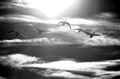 #geese #clouds